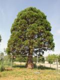 Mamutfenyő az egykori erdészház kertjéből